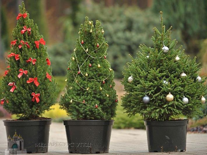 Ялинка – символ Різдва чи Нового року, жива чи штучна?